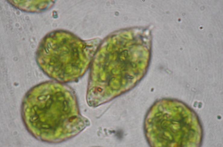 Detalle Euglena